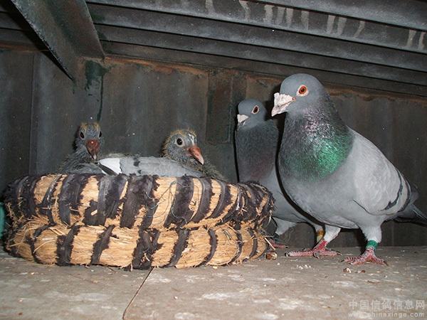 蜗牛鸽鸽子鸟爱情600_450动物也有时候什么鸟类播图片