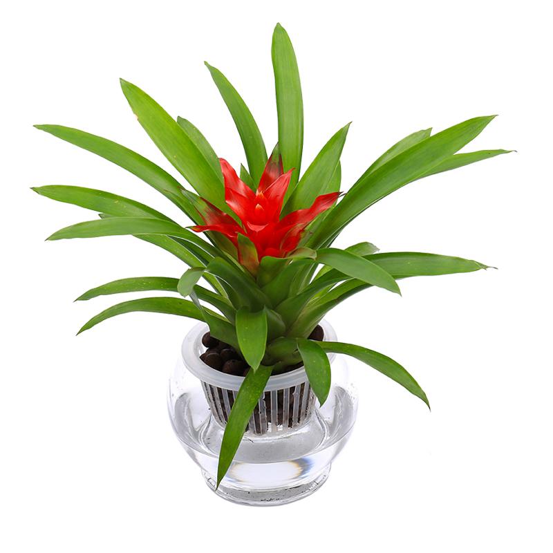 水培鸿运当头小红星,凤梨花如意,银皇后万年青铁兰桌面绿植盆栽植物