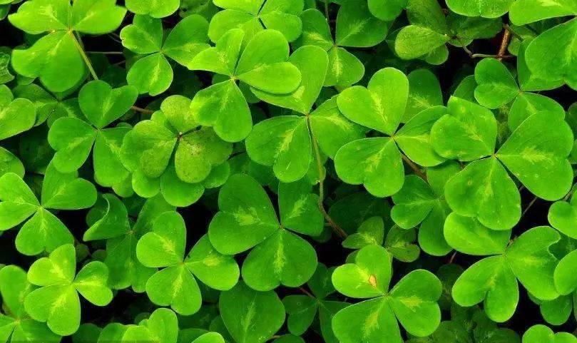 苜蓿的花语是幸运,关于三叶草的传说由来已久,有说它是亚当,夏娃从图片