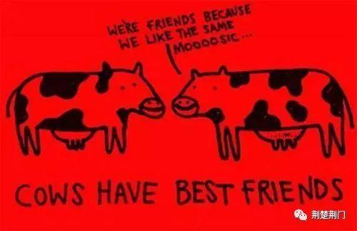 别不信,奶牛都有自己的好朋友