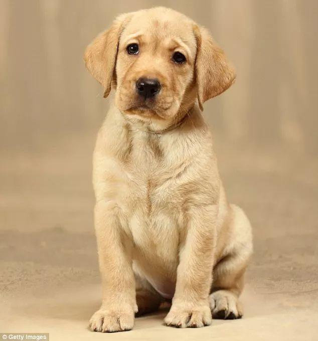 澳大利亚最受喜爱的犬类品种揭晓!拉布拉多夺魁,你家狗狗上榜了吗?