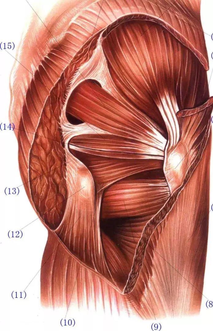 臀部浅层与深层肌肉解剖