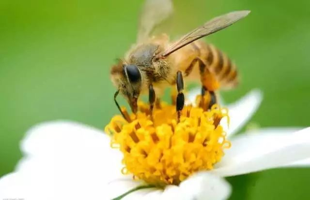 小活动:做个勤劳的小蜜蜂 小蜜蜂采花蜜 嗡嗡嗡,采蜜啦,采到东来采到图片