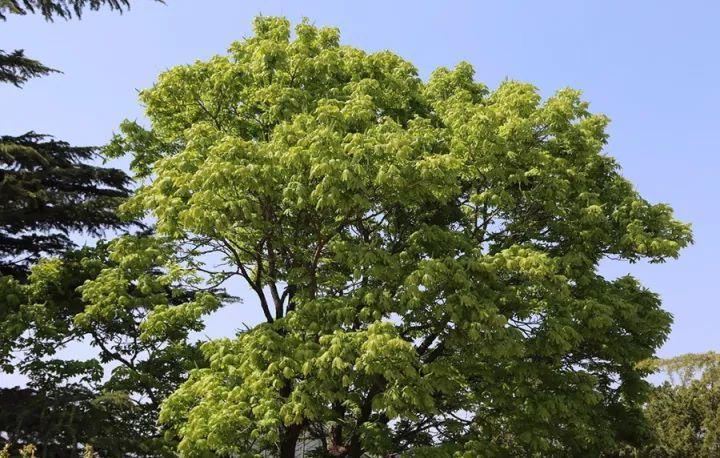 """七叶树:价值不菲的""""佛门圣树""""图片"""