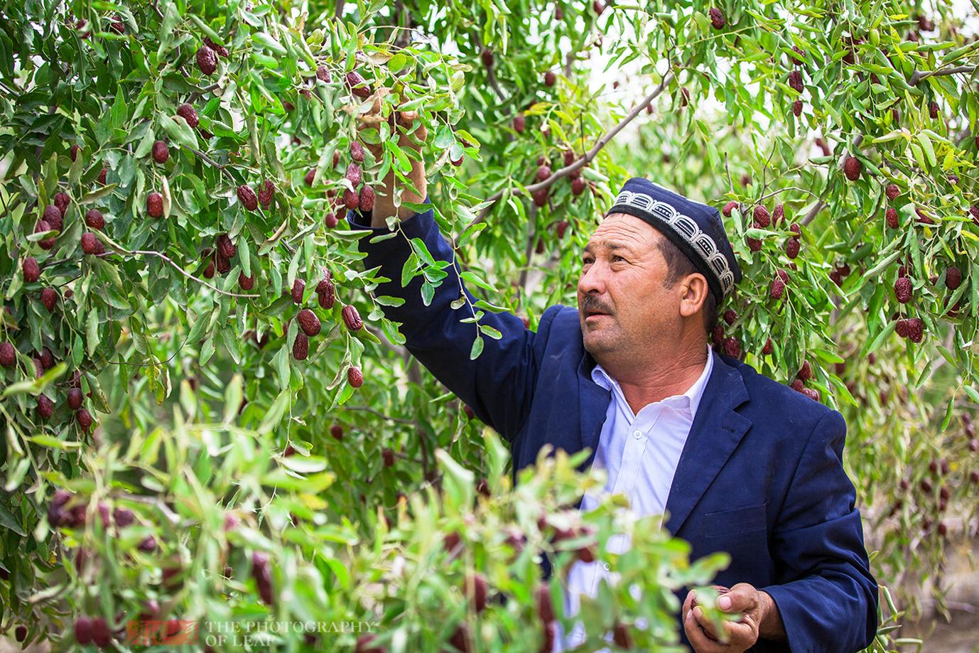 去新疆旅游到果园里吃水果从不要钱,原来是真的,你知道吗?