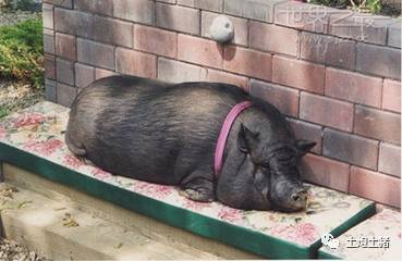 六合彩综合资料猪的十个世界之最,你知道几个??