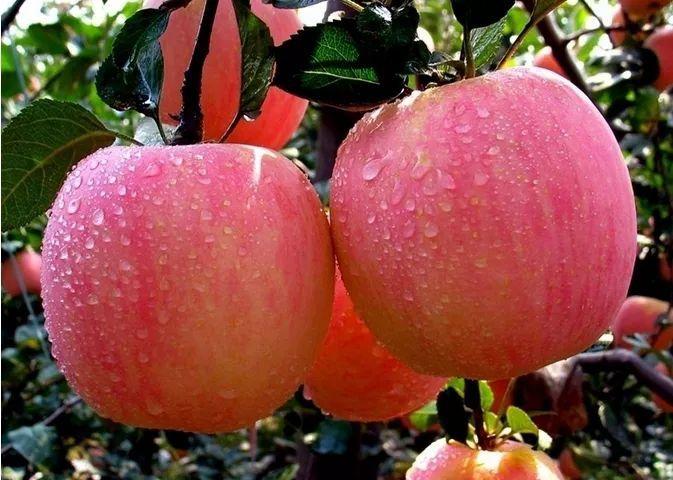 青龙特产--青龙苹果
