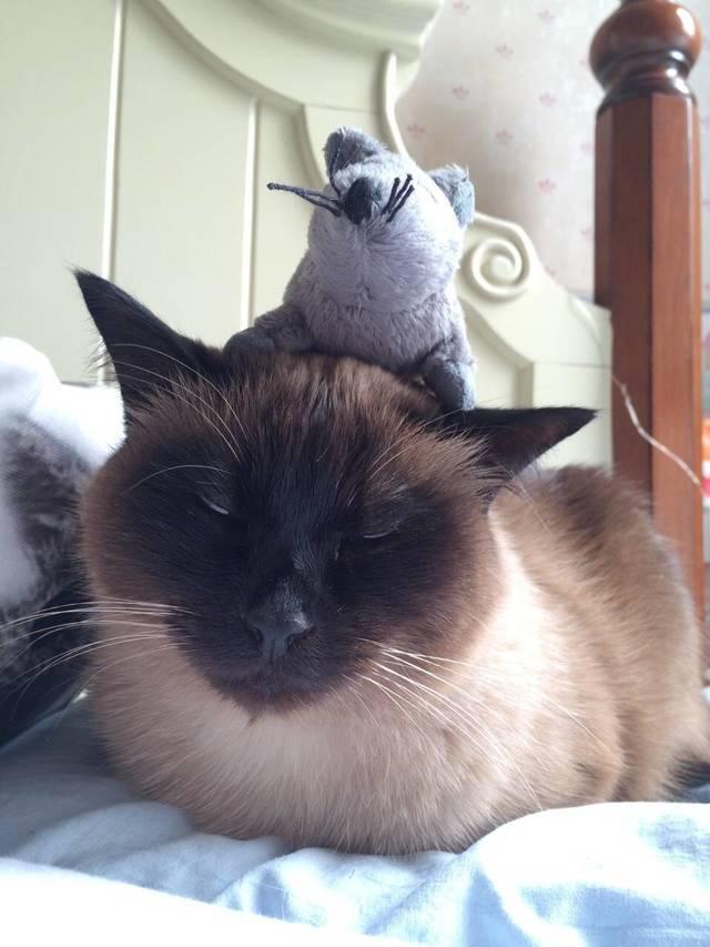 暹罗猫生气了怎么哄图片