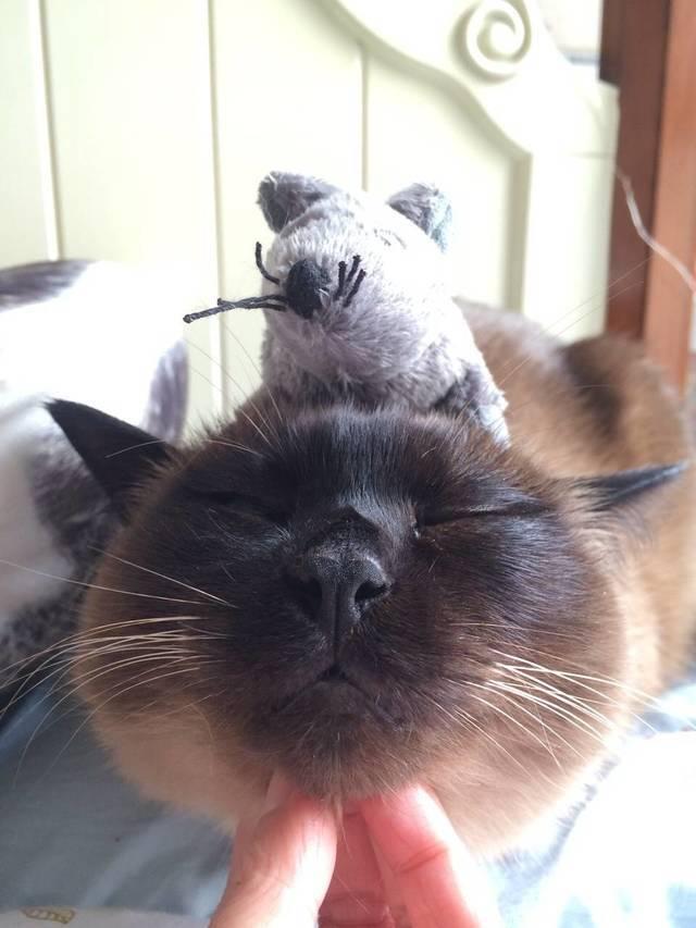 暹罗猫生气的表现图片