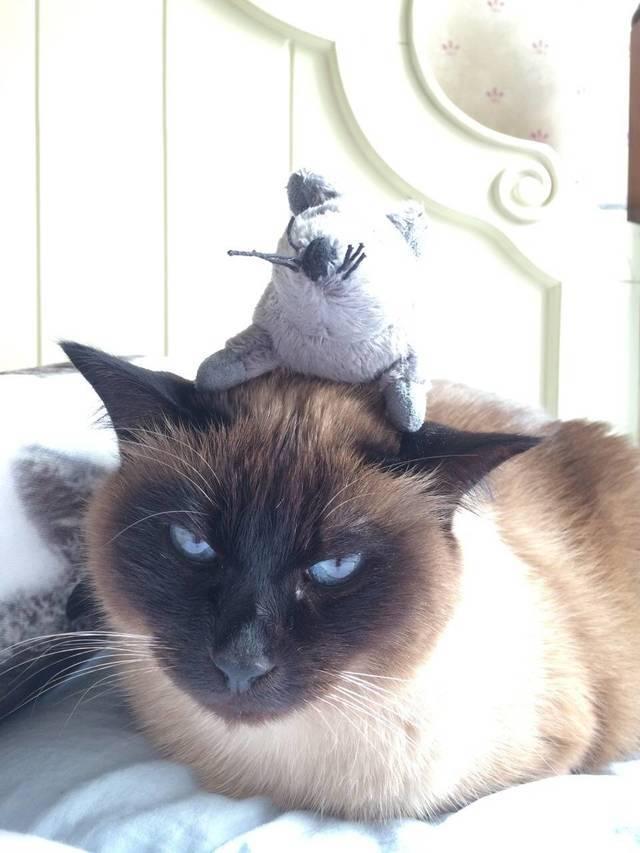 暹罗猫把你当主人的表现图片