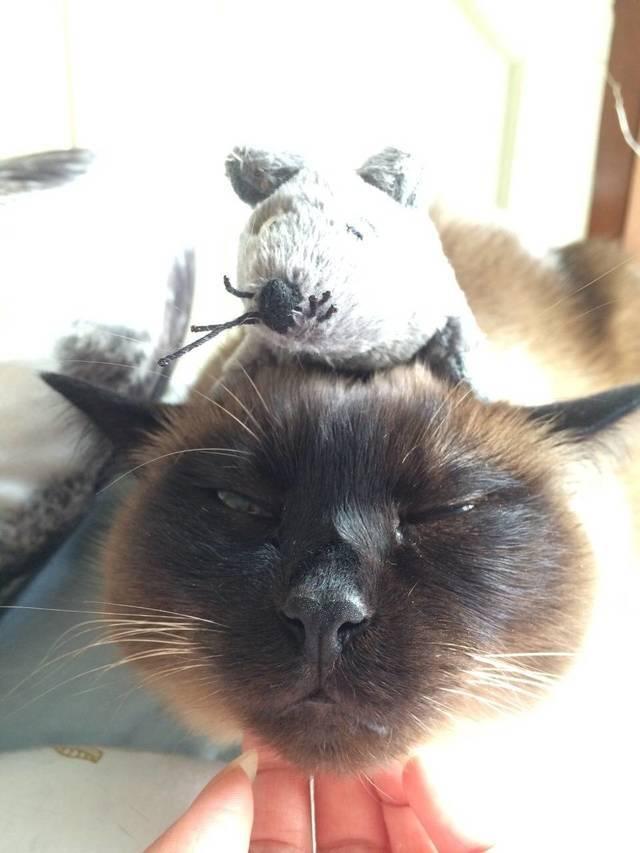 暹罗猫生气图片