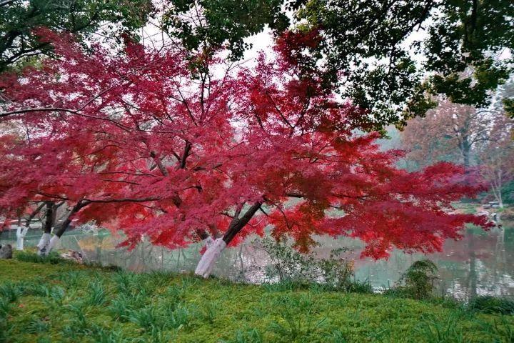 杭州:冬已至但秋未走远,西湖红叶仍在枝头等你