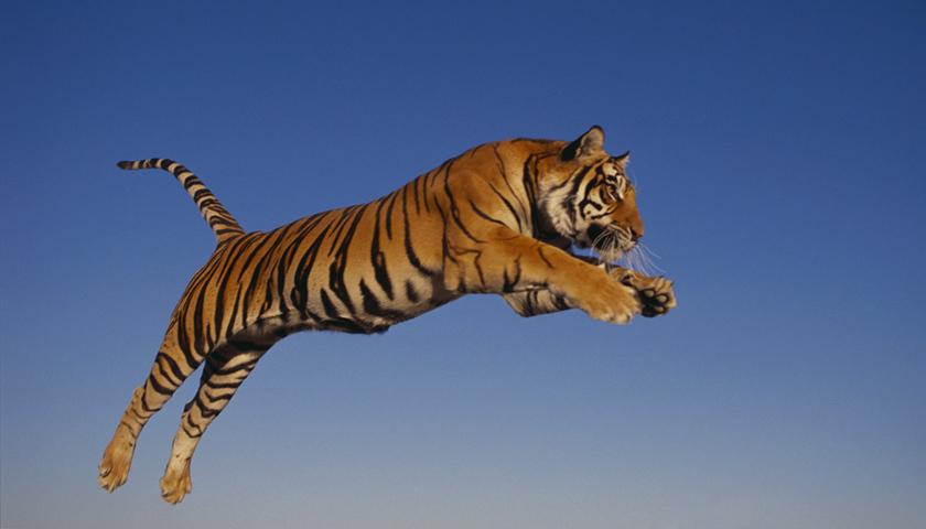 八达岭老虎伤人案将开庭_被咬女子认为动物园应承担主要责任