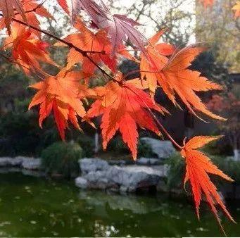 冬天也是落叶的,一般来说正常的鸡爪槭树型比红枫要舒展.图片