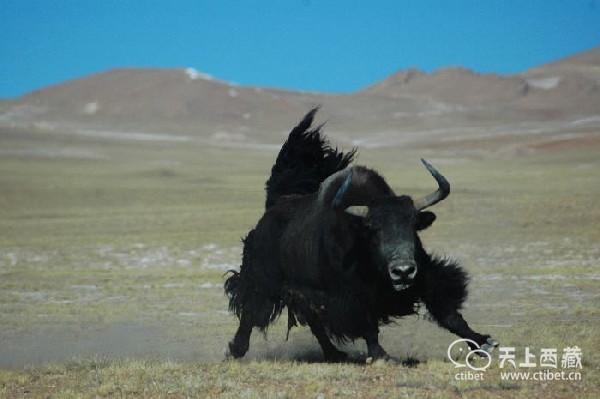 """西藏是野生动物的""""天堂"""",如果""""肇事"""",政府来买单"""