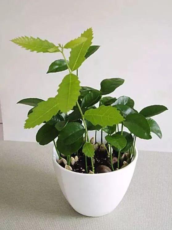 板栗只用来吃太浪费了 种在盆里 竟然比绿萝吊兰美100倍