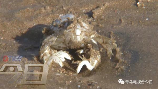 """低龄蟹遇灭种危机 不建议大家去采挖""""海知了"""" - 点击图片进入下一页"""