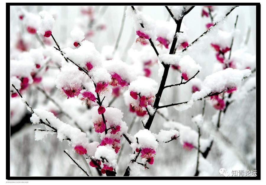 大雪送你几幅绝美的雪中梅花,和诗画绝配!图片