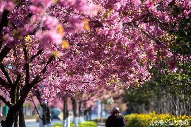 昆明迎来最冷12月!但是今天,这片樱花突然把半个春城包围....▏FM887天气