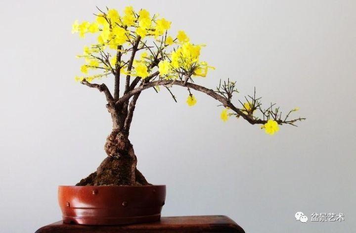 【盆景艺术】迎春花盆景的培育制作