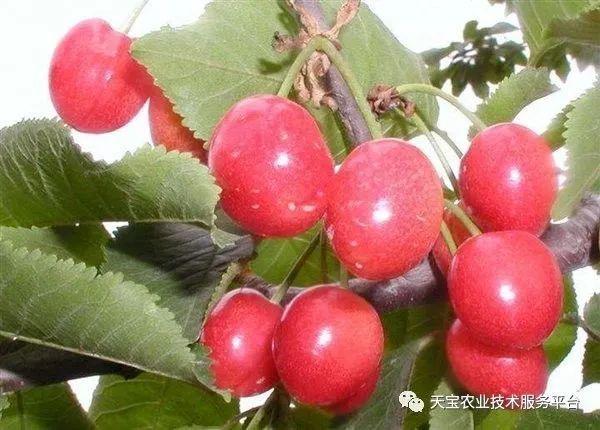 樱桃树苗品种介绍图片