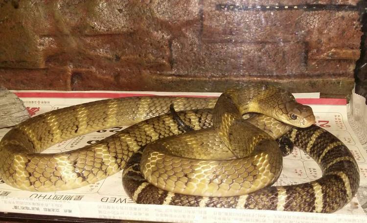 宠物 正文  这个产区的眼镜王蛇幼体颜色同一模式,呈明显的黑黄相间.