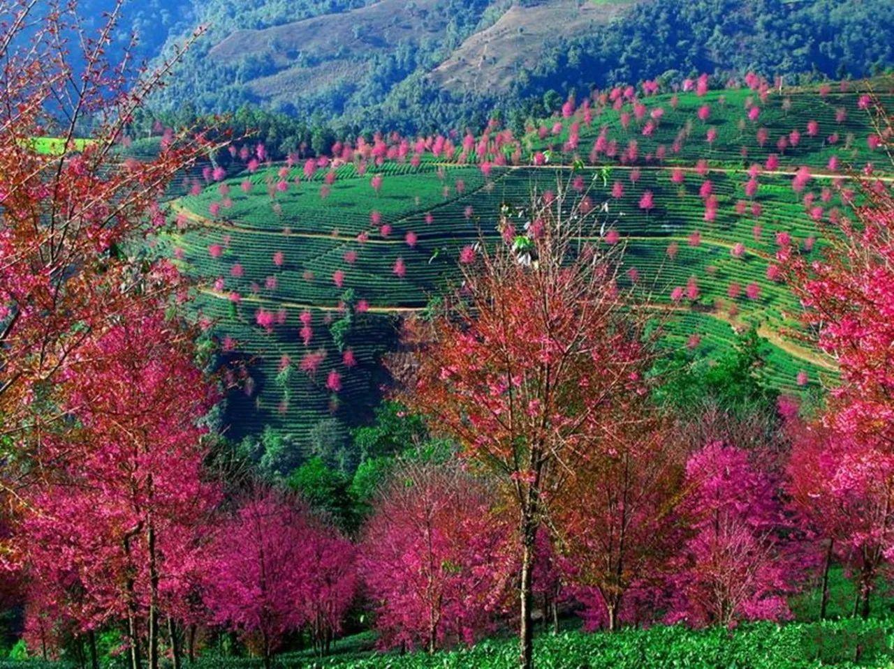 www.bmw999.com:冬日无量山 赏茶园中的樱花林