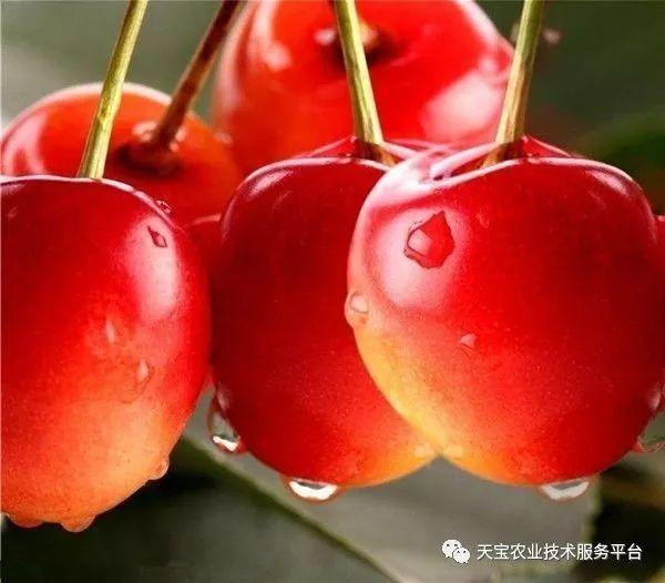 樱桃美早品种介绍图片