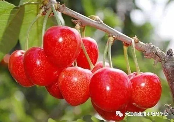 大樱桃的品种介绍图片