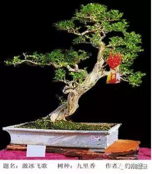 盆景造型技法: 岭南盆景中,优雅的飘枝在桩景中的形态图片
