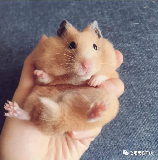 仓鼠的日常:鼠生主要吃吃卖萌和生存吃负责日记蜘蛛腿在哪里图片