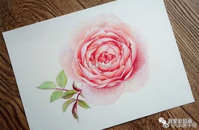 彩铅手绘~~粉红月季!