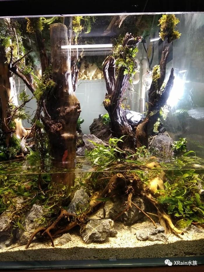 越南玩家的水陆雨林缸作品开缸全记录
