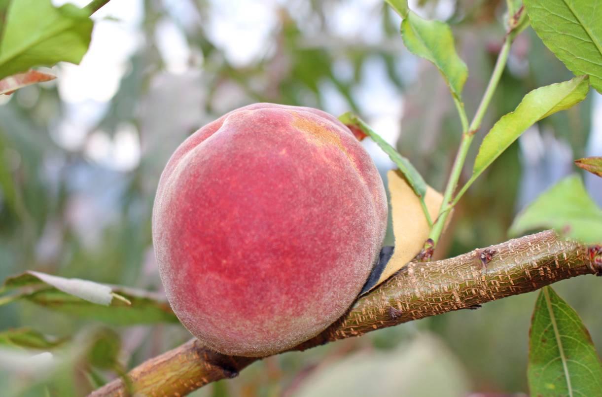 冬桃种植技术-农技学堂 - 惠农网