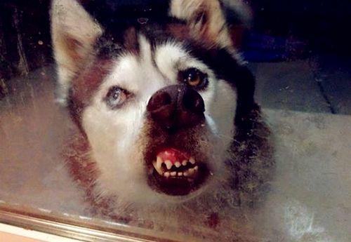 二哈走丢一周后狗肉馆巧遇它,试着尬聊,店员 我见过最傻的狗