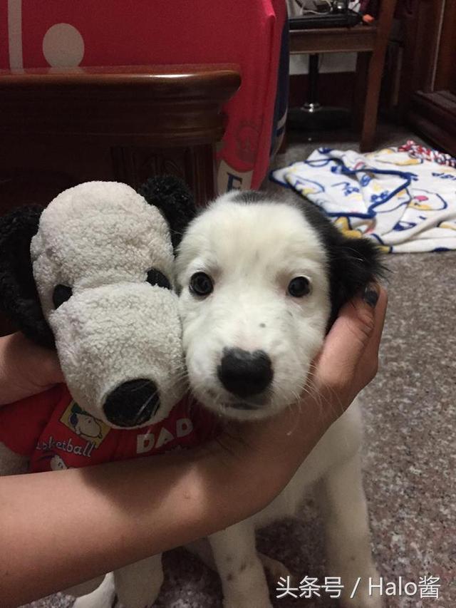 长脸狗_他领养的流浪小狗跟史努比长得一毛一样,还以为是双胞胎呢!