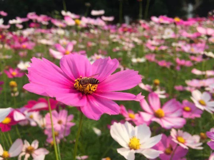 在微风的吹拂下 散发出幸福的味道 阳光 格桑花 花丛中还有些小蜜蜂小图片