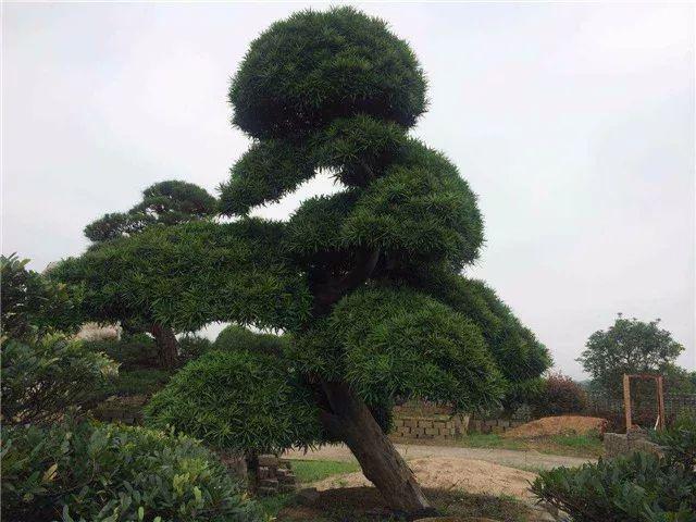 造型苗木前景被看好,增值空间大