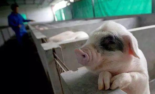 """""""养猪大王""""说:现在北大清华高材生也愿意养猪!"""