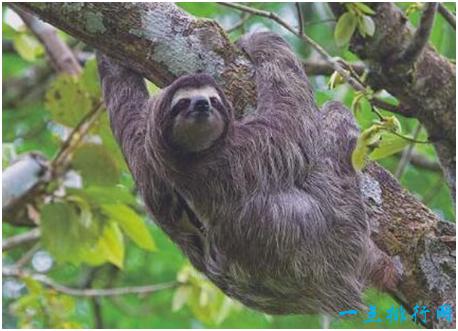 最懒的动物_世界上几种非常懒惰的动物,常年都是在睡觉,没有最懒只有
