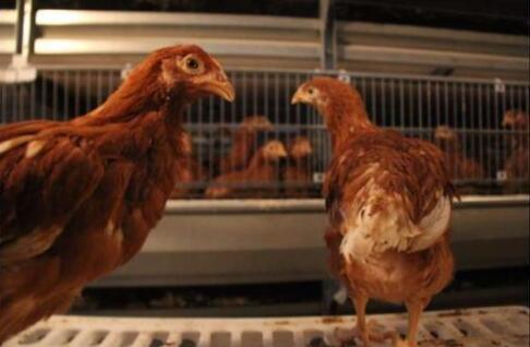 褐壳蛋鸡养殖技术视频+
