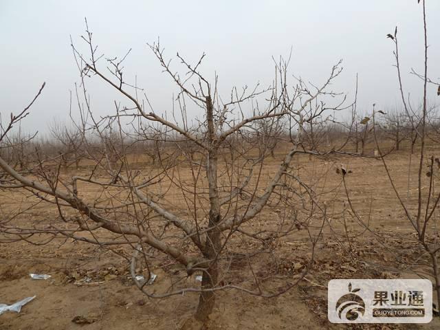 苹果树的冬季修剪无从下手 这篇文章绝对值得你收藏