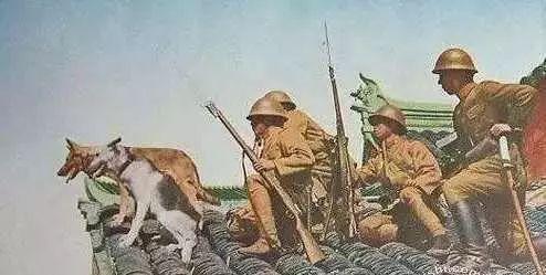 打败日本鬼子后的战利品——狼青犬