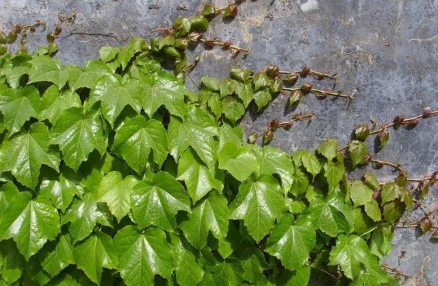 爬山虎:单叶为主 夏季开花,花很小,黄绿色,秋天结果,浆果是黑紫色的.图片