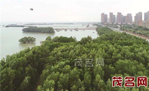 """文化 正文  茂名有句老话""""好嘢沉归底"""",徒步的终点水东红树林观景平台图片"""