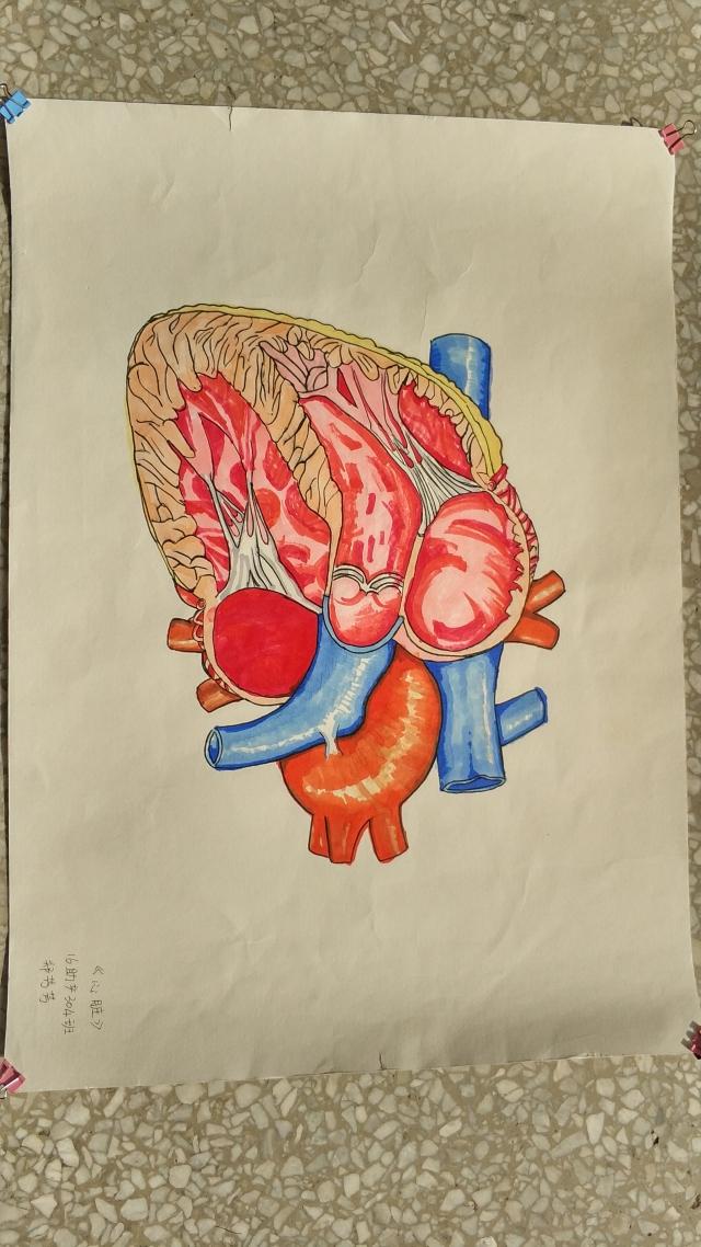 人体解剖手绘-最佳人气奖投票