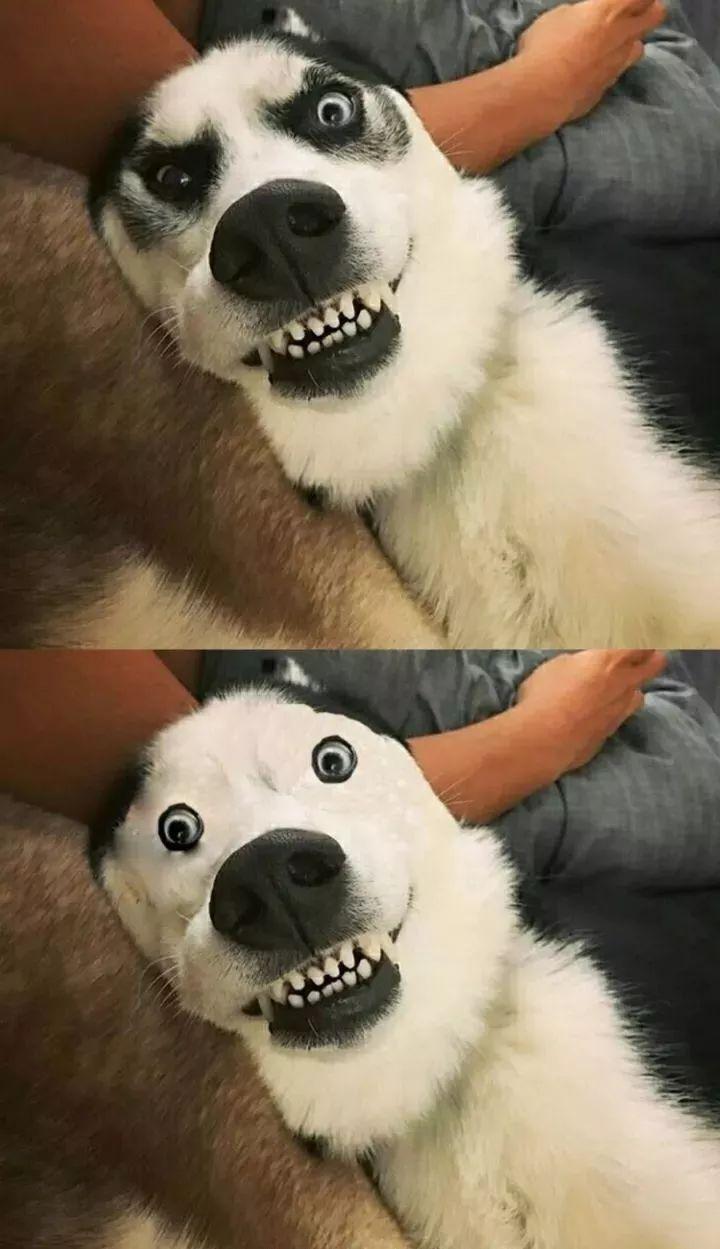 """网友投稿的呆萌哈士奇,ps后看去表情不是一般的""""二"""",忍不住笑出声.图片"""