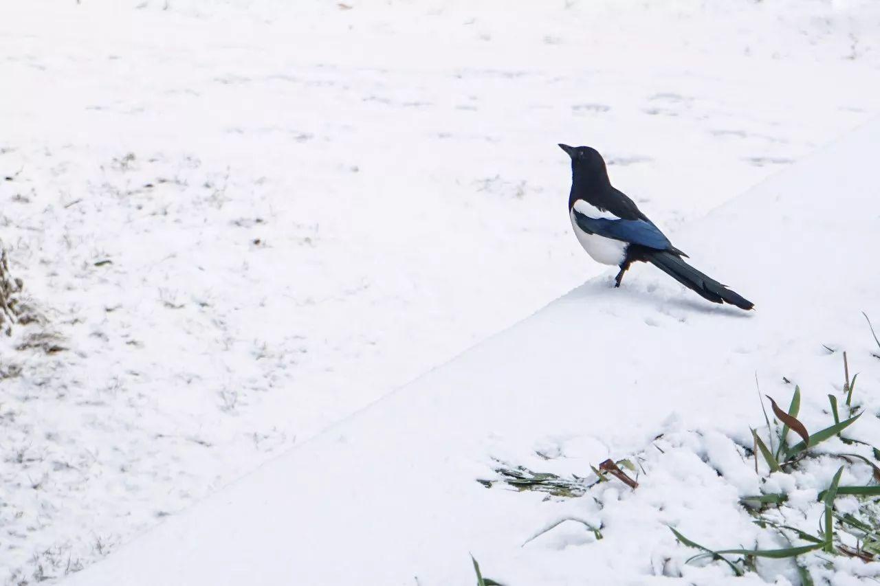 图片拍摄 |   周学飞 李剑鸣 朴春雨   雪下了一层又一层,却仍覆不住松树的墨绿.