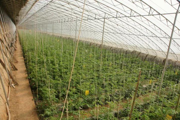 大棚蔬菜怎样使用烟剂才能不出药害?