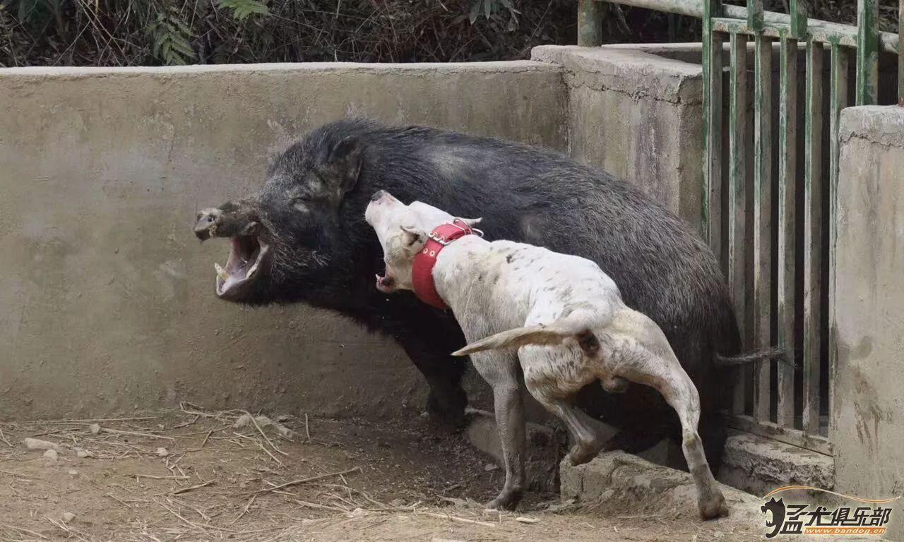猎犬之王杜高——执着的狩猎之路